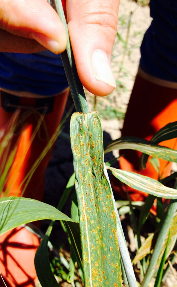 Leaf rust on durum wheat in Morocco