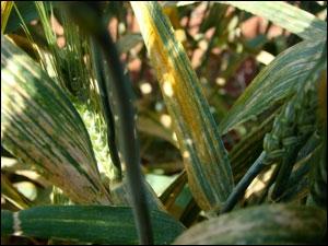 Yellow rust on wheat